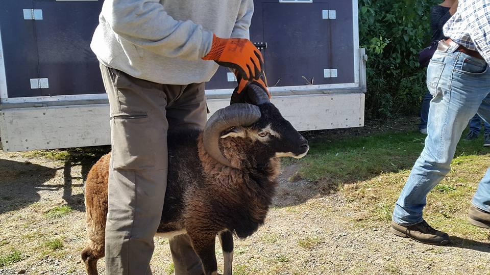 Des moutons de Soay parmi les employés communaux